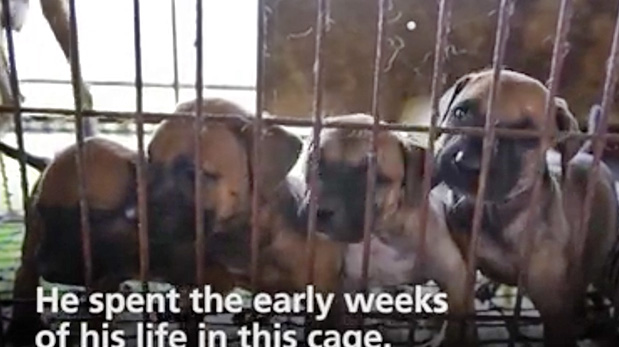 Zeus bebé y sus hermanitos. Foto tomada antes de ser rescatado por HSI de una granja de carne de perro en Corea del sur. El subtítulo dice