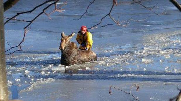 Facebook: bomberos rescatan a alce atrapado en el hielo [VIDEO]