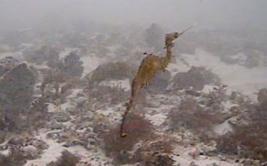 YouTube: mira el primer video de un dragón marino rojo