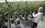 Brasil aprueba el uso de medicamento a base de marihuana
