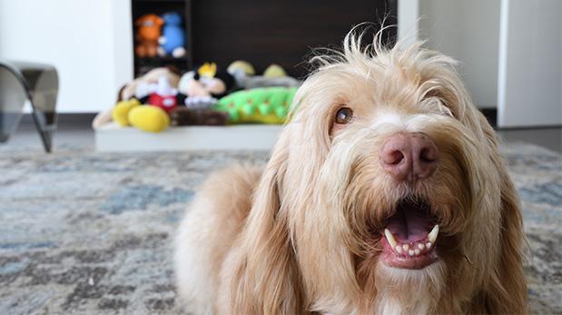 Yirko Sivirich, perros, mascotas, adopción, wuf