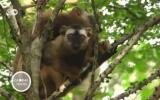 Especies en peligro de extinción: Lémures de Madagascar
