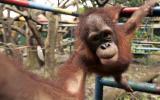 Estudio alerta del peligro de extinción del 60% de los primates