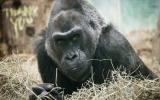 Fallece el primer gorila del mundo que nació en un zoológico