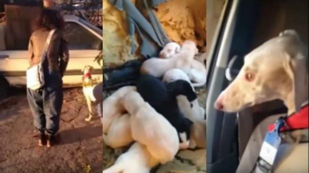 Valiente perrita camina 3 kilómetros para rescatar a sus crías