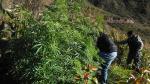 Áncash: policía halla 2.323 plantones de marihuana en cultivos - Noticias de chiquian
