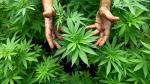 Forman comité de expertos para evaluar la marihuana medicinal - Noticias de minsa