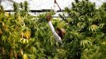 ¿La marihuana medicinal es necesaria en el país? - Noticias de philip elmer dewitt