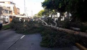 San Borja: dos árboles cayeron en avenida y bloquearon tránsito