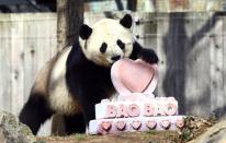 Bao Bao, la osa panda nacida en EE.UU., será enviada a China
