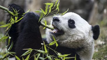 El panda gigante Bao Bao viaja de Washington a China