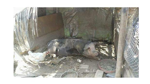 [Foto] Animales víctimas de huaycos recibieron asistencia médica