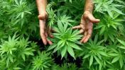 Marihuana medicinal: Gobierno pide aprobar importación y venta