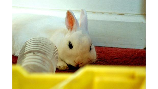 Los conejos sufren demasiado con el calor
