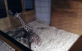 Zoológico es cuestionado por emitir en vivo parto de jirafa