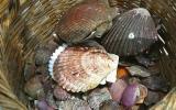 Exportaciones de conchas de abanico se desplomarán 50% este año