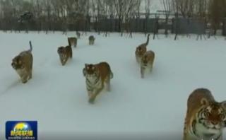 Facebook: viral de tigres y un dron despierta polémica [VIDEO]