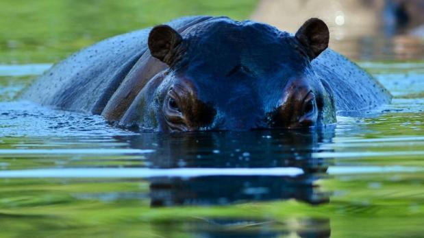 El Salvador: Muere hipopótamo atacado por humanos en zoológico