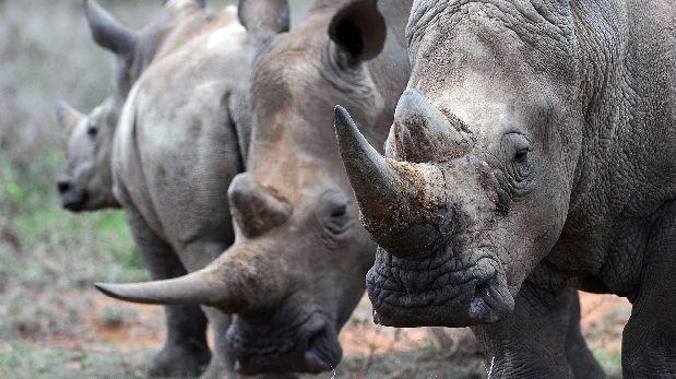 La caza furtiva de rinocerontes desciende un 10% en Sudáfrica