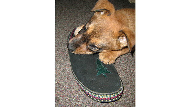 [Foto] Cómo lidiar con perros que muerden lo que no deben