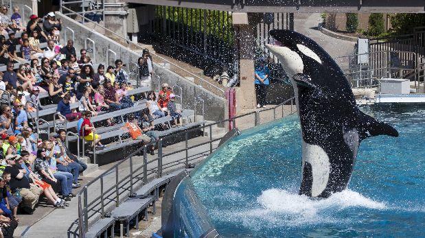 La última orca en cautiverio de SeaWorld nacerá en abril
