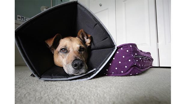 Una otitis ignorada o mal tratada puede terminar en una situación tan seria que requiera el uso de un cono como éste.