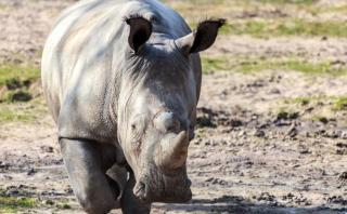 Matan a rinoceronte en un zoológico para quitarle un cuerno