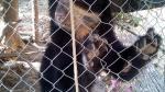 Cajamarca: Serfor rescata del cautiverio a una osa de anteojos - Noticias de caza