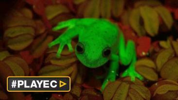 Descubren la primera rana fluorescente conocida en la Tierra