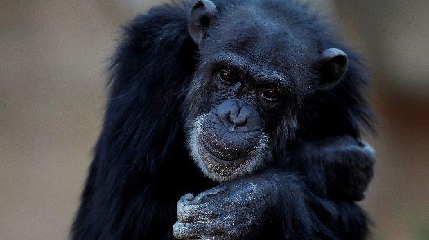 Buscan que chimpancés sean reconocidos como personas jurídicas
