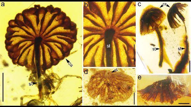 Hallan fósiles de hongos de hace 99 millones de años