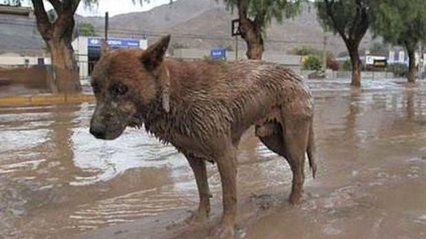Construirán albergues para animales rescatados de huaicos