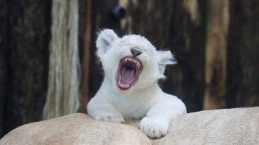 Un día en la vida de los 4 cachorros de león blanco de Alemania