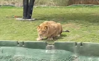 Leona intenta atacar a turistas en zoológico mexicano [VIDEO]