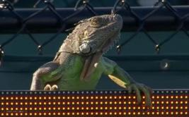 Iguana interrumpió encuentro del Masters 1000 de Miami [VIDEO]