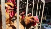 Japón sacrifica a otras 300.000 aves por la gripe aviar