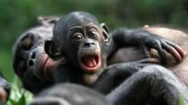 Tamaño del cerebro de primates viene determinado por la dieta