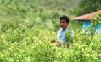 Los cultivos de coca ganan terreno como nunca antes en Colombia