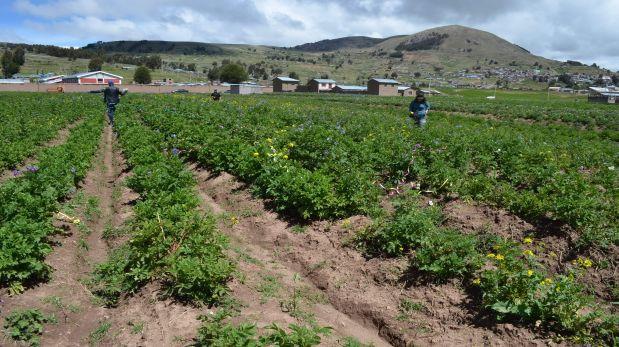 Otros cultivos afectados son las papas (35%), también por escasez de precipitaciones pluviales en algunas provincias y la granizada en otros lugares, seguido de otros productos como la quinua y cebada.(Foto: Carlos Fernández).
