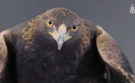 ¿Por qué el águila real es uno de los animales más poderosos?