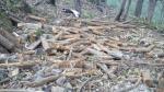 Puno: talan ilegalmente 300 eucaliptos en bosque de Yunguyo - Noticias de fauna silvestre