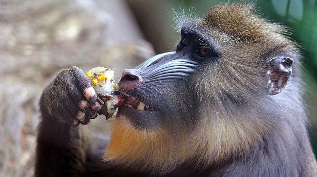 Los mandriles usan el olfato para identificar a los enfermos