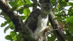 San Martín: encuentran águila harpía en cordillera - Noticias de caza