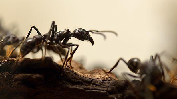 Las hormigas llevan 30 mlls. de años practicando la agricultura