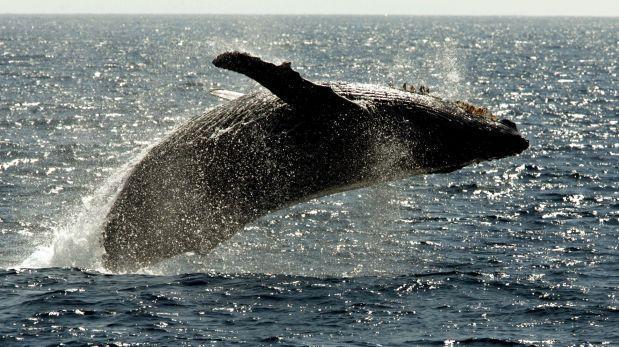 Descubren rutina de reproducción de ballenas en el Pacífico