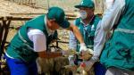 Huarmey: atienden a 250 animales frente a la alerta sanitaria - Noticias de rabia silvestre