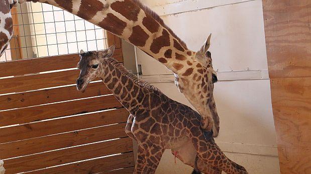 El parto de la jirafa April supera el millón de espectadores