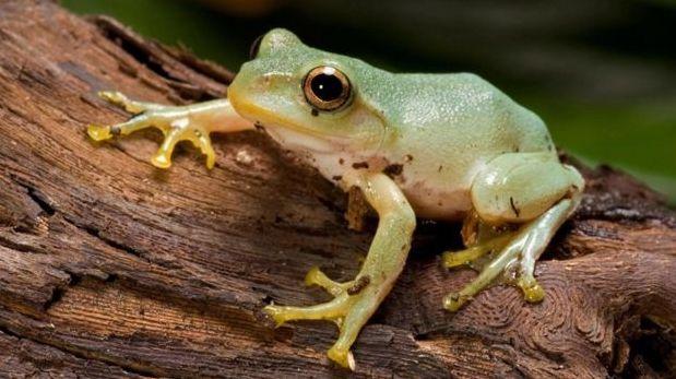 Las ranas japonesas de árbol cambian el sonido que emiten cuando están infectadas con el hongo 'Batrachochytrium dendrobatidis'. (Foto: Alamy)