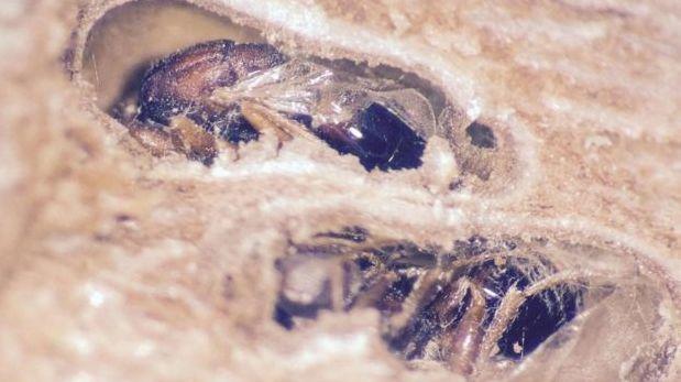 Avispas 'Bassettia pallida' que mueren en los agujeros que crearon. (Foto: Egan Lab/Rice University)