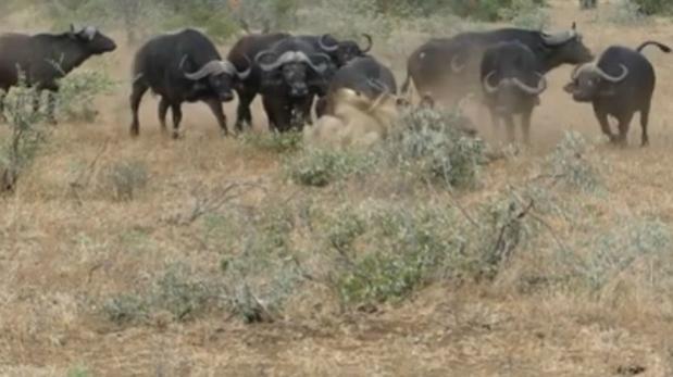 Dos leones acorralan a un búfalo